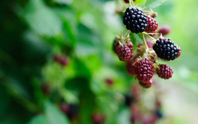 Blackberry Cobbler Could Be a Problem for Farmers
